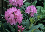 Rhododendron (English Roseum) kuva
