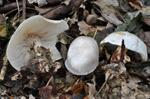 Clitocybe phyllophila